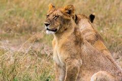 Portrait of lion cub. Kenya Royalty Free Stock Photography