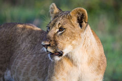 Portrait of a lion cub stock images