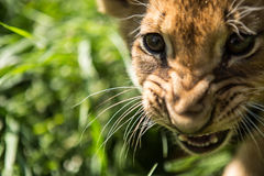 Portrait of lion cub. In lion park Taigan, Crimea, Russia royalty free stock photography