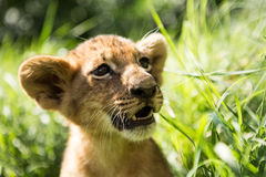 Portrait of lion cub Royalty Free Stock Photography