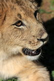 Portrait of a lion cubs face Stock Photography