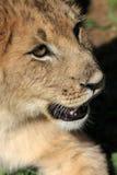 Portrait of a lion cubs face stock photography