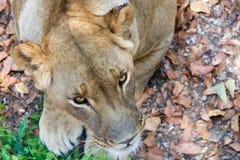 Portrait of Lion female Stock Photo