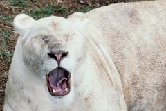 Lion yawns in the zoo. stock images