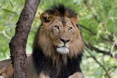 Portrait of a Lion Horizontal Royalty Free Stock Photo