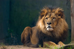Portrait of a lion king Stock Photography