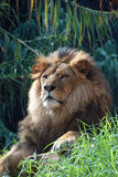 Portrait of a lion king. Portrait of an african lion, close up, king power Royalty Free Stock Photo