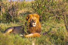 Portrait of lion. King of Masai Mara. Rest on the grass. Kenya, Africa Stock Photo