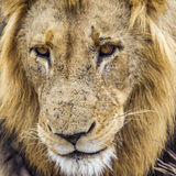 Portrait of a lion in Kruger National park, South Africa Stock Photography