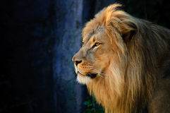 Portrait of a Lion. Looking over his territory Royalty Free Stock Photo