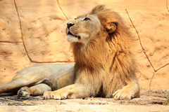 Portrait lion Royalty Free Stock Photography