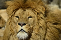 Portrait of a lion looking up. Portrait of a lion in the sun Royalty Free Stock Photo