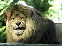Portrait lion lying Stock Photo
