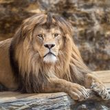 Portrait of a lion male. stock photography