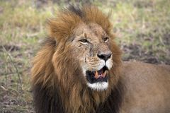 Portrait Of A Lion, Masai Mara, Kenya, Africa Stock Images