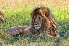 Portrait of a the lion named scarface at the masai mara. National park Royalty Free Stock Image