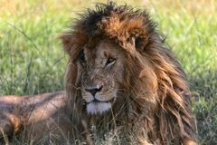 Portrait of a the lion named scarface at the masai mara Stock Photos