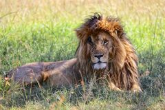 Portrait of a the lion named scarface. At the masai mara national park kenya africa Stock Images