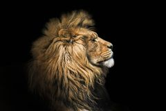 Free Portrait Lion On The Black. Detail Face Lion. Hight Quality Portrait Lion. Portrait From Animal Stock Image - 145612151