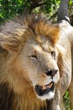 A portrait of lion Royalty Free Stock Image