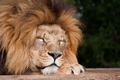 Portrait of Lion Panthera Leo Royalty Free Stock Images