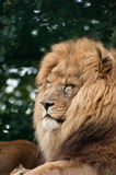 Portrait of Lion Panthera Leo Stock Image