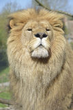 Portrait of lion Stock Image