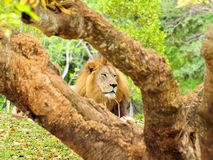 Portrait of lion (Panthera leo) resting behind tree Royalty Free Stock Photo
