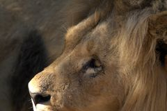 Portrait of a lion in profile. Profile of a lion. You can see the eye. Part of the ear and manes. Nose and nostrils. The lion is calm. He is the king of beasts Stock Images