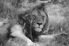Portrait of a lion resting at the masai mara Stock Photos