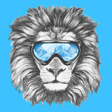 Portrait of Lion with ski goggles. Stock Image