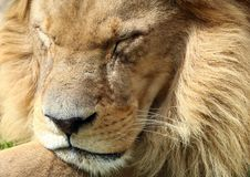 Portrait of sleeping lion royalty free stock images