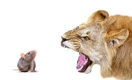 Portrait of a lion snarling at a mouse stock photos