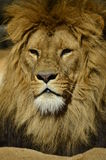 Portrait of a lion. In the sun Royalty Free Stock Images
