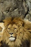 Portrait of a lion. In the sun Royalty Free Stock Photo