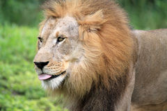Portrait lion tongue out Royalty Free Stock Image