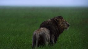 Portrait of lion uner the rain, Okavango delta Okavango Grassland, Botswana, South-Western Africa stock photos