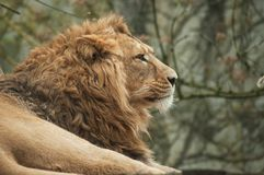 Lion watching behind him. Portrait of lion watching behind him stock photo
