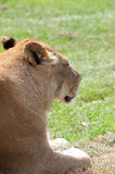 Portrait of Lioness. Looking away from camera, grass background Stock Image