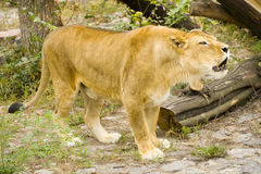 Portrait of lioness. Yells in a captivity Royalty Free Stock Photos