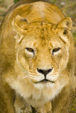 Portrait of lioness Stock Photo