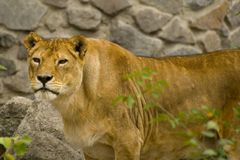 Portrait of lioness. Portrait of a great old lioness in captivity stock photo