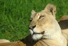 Portrait of lioness. Resting on grass outdoors Royalty Free Stock Images