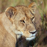 Portrait lioness. Masai Mara Game Reserve, Kenya Royalty Free Stock Photo