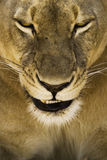 Portrait of lioness. Closeup portrait of female lioness Royalty Free Stock Image