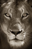 Portrait of lioness. Black and white portrait of staring lioness Royalty Free Stock Image