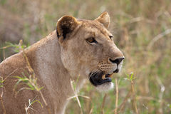 Portrait of lioness. Side portrait of lioness with grass in background Stock Images