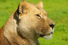 Portrait of a lioness Stock Photo