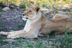 Portrait of lioness Royalty Free Stock Photo
