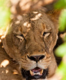 Portrait of a Lioness Stock Images